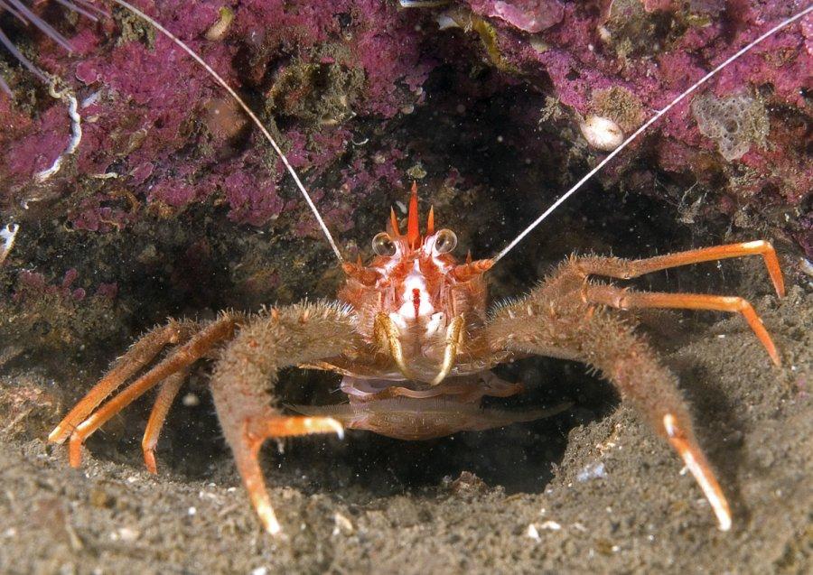 mark_Squat Lobster